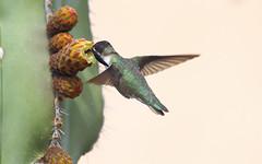 Costa's Hummingbird -- Male (Calypte costae); Catalina, AZ, [Lou Feltz] (deserttoad) Tags: nature animal bird wildbird wildlife hummingbird tree desert arizona cactus flight bloom flower