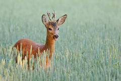Ree, Deer, Male