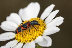 Trichodes leucopsideus (Jaume Bobet) Tags: trichodes leucopsideus coleoptera cleridae escarabajo insecto macro bobet canon sigma