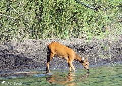 Chevrette 02 (jean-daniel david) Tags: chevrette chevreuil biche réservenaturelle roseau lac lacdeneuchâtel eau nature animal reflet yverdonlesbains suisse suisseromande vaud vert verdure rive