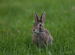 """""""Say what?"""" (Millie Cruz) Tags: rabbit green animal grass outdoors nature canoneos5dmarkiii cottontail ef100400mmf4556lisusm adorable face portrait hare"""