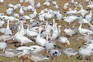 Snow Geese 18-0311-8582