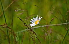 Windy day (3) Daisy is a beautiful photo model. Finland. Summer 2018. (L.Lahtinen (nature photography)) Tags: finland summer bokeh windy daisy flora 7dwf