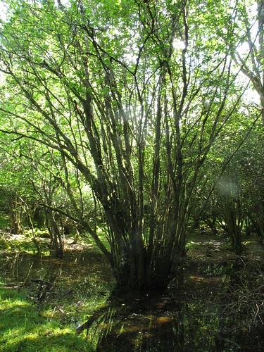 willows wet woodland Gortacarnaun
