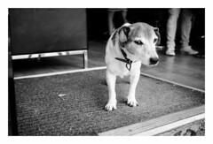 Barbershop dog (fishyfish_arcade) Tags: 20mmf17 gx7 lumix panasonic dog panasonic20mmf17asphlumixg blackwhite bw monochrome mono