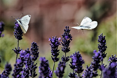Two for the price of one (Paul Wrights Reserved) Tags: butterfly butterflies insect inflight insects flying perched