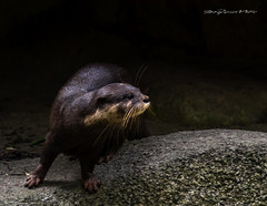 Otter In Action (melvhsc100) Tags: otter animal wildlife nature rocks bokeh tamron70300mm nikon d3100
