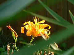 Rarity (Jer*ry) Tags: flower back yard home light tigerlily selectivefocus summer explore
