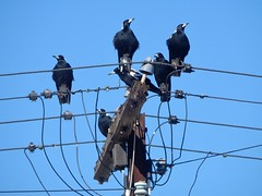 Magpie Crowd (mikecogh) Tags: seaton magpies crowd gang wires telegraphpole
