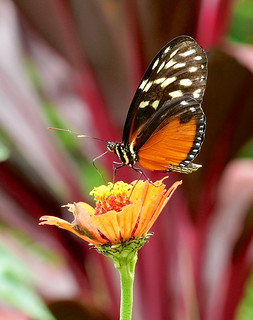 Heart-spotted Heliconian --- Heliconius hecale zuleika