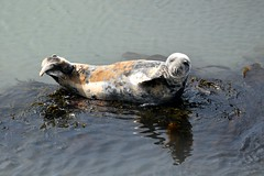 Inquisitive seal (karen leah) Tags: seal atlanticgreyseal mammal cardiganbay ceredigion nature wildlife outdoors