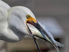 I Don't Think So (Darts5) Tags: snowyegret egret egrets snowy bird birds fish animal nature 7d2 7dmarkll 7dmarkii 7d2canon ef100400mmlll closeup canon7d2 canon7dmarkll canon7dmarkii canon canonef100400mmlii birdeatingfish