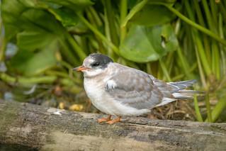 Arctic Tern (juvenile)