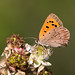 Small Copper butterfly (Fox Pix) Tags: