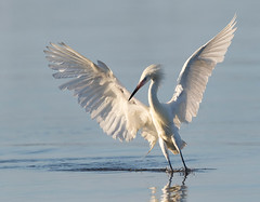 A new day dawns (Gary McHale) Tags: reddish egret white morph fort myers florida wings outstretched gary mchale dawn first light naturethroughthelens