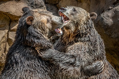 Play Fighting in the Pool [In Explore 7/24/18] (helenehoffman) Tags: omnivore conservationstatusleastconcern nature sandiegozoo ursusarctos playfighting animal brownbear scout wildlife bear ursus playing grizzlybear montana ursusarctoshorribilis mammal carnivore coth5 coth alittlebeauty specanimal