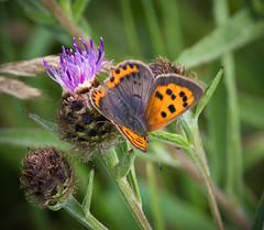 Small Copper Butterfly (Hector Patrick) Tags: dng flickrelite lightroom614 northyorkmoors northyorkshire pentaxdfa100f28wrmacro pentaxk1 rosedaleabbey yorkshire churchyard nature smallcopper butterfly colorful pentax flora fleur colours natur naturaleza plants