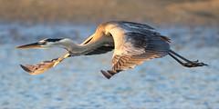 Great Blue Heron (dianne_stankiewicz) Tags: bird nature wildlife coastal marsh water sand heron greatblueheron flight feathers