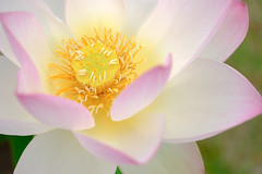 Lotus (HarQ Photography) Tags: fujifilm fujifilmxseries xt2 carlzeiss touit2850m flower lotus summer japan