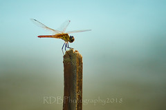 Skylne Trip to 金海沙滩 Dragonfly 01 (C & R Driver-Burgess) Tags: insect stick macro bokeh wings head abdomen thorax legs eye sand hover land cling lacy