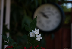 Jasmine. (Lee1885) Tags: flower jasmine plant garden clock time blur nature closeup white