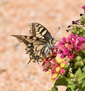Por fin consigo pillar una #macaón (#Papilio machaon) #mariposas #lepidoptera #lepidopteros #insectos #insectagram #insect #papallona #butterfly #mariposa #entomologia