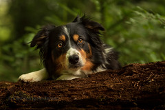 Catja (Flemming Andersen) Tags: portrait pet nature hund dog bordercollie green outdoor catja animal