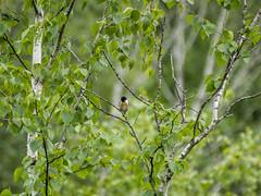 P7030001 (turbok) Tags: schwarzkehlchen tiere vögel wildtiere c kurt krimberger