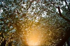 film/46 (Elizaveta Muravskaya) Tags: film filmphotography filmphoto analog analogphotography analogue 35mm olympus om2n kodak gold200 sunset sun spring