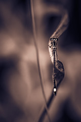 The Black Damselfly (Of Light & Lenses) Tags: chrome grassblades bokeh monochrome damselfly pond garten teich libelle kleinlibelle black blackdamselfly dragonfly olympusm1mkii mzuiko2840150mmpro naturfoto insects insekten
