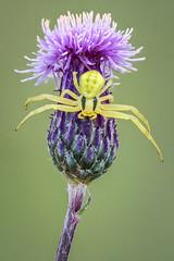 Misumena vatia (andredekesel) Tags: misumenavatia thomisidae crabspider predator krabspin distel sonya6500 metaboneseftosonye canon5dmkii canonef100mm128lisusm focusstacking fieldstack zerenestacker gimp macro flower