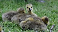 Too cute (moniquerebanks) Tags: goslings geese gander bird youngbird waterbird london uk closeup fluffy cute adorable nature park gans dons gansje ganschen donzig oison ansarino papero natureatitsbest natuur nosey nieuwsgierig