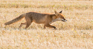 Hunting Red Fox