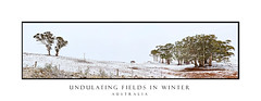 Australian rural landscape in winter panorama (sugarbellaleah) Tags: panorama winter snow gumtrees snowgums field undulating hills snowing rural landscape farm farmlands outback paddock season white trees nature environment oberon pretty cold freezing weather climate chilly highlands australia nsw