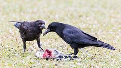 Hard to handle (DavidHowarthUK) Tags: london regentspark june 2018 carrioncrow corvuscorone carcass blackcrowes