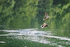 ohne Titel (stefandinkel) Tags: stefandinkel olympusomdem1 olympus40150f28 ente una river duck water green nature tree