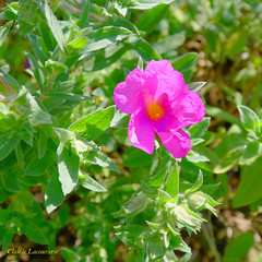 Cistus x pulverulenta 'Sunset' (claude 22) Tags: fiori fleurs jardin pellinec nature natural garden flowers verdure green breizh penvénan bretagne brittany botanical botanique végétation cistusxpulverulenta sunset
