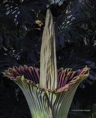 CorpseFlower_Meijer_2_wm (RSchadle) Tags: titanarum corpseflower carrionflower amorphophallustitanum meijergardens