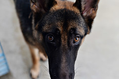 Shontababa... (Benaami) Tags: nikond610 nikon nikkor naturallight natural dog gsd german shepherd alsatian puppy eyes nikon50mm14 nikkor50mm14 nikon50mmf1fafd nikkor50mmf14afd