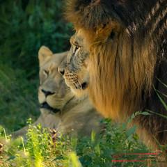 Nice couple (Thoober) Tags: zoogelsenkirchenzoomtiereeos70d lion animal cat tamron150600