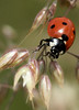 Archief (Geziena) Tags: lvb lieveheersbeestje rood zwart stippen natuur closeup macro macrolens e620 olympus 105mm