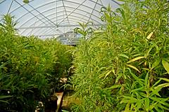 Early morning sun illuminates new hemp plants growing in Broadway Hemp's Harnett County greenhouse. (ncsuweb) Tags: green greenhouse harnettcounty hemp farm farming agriculture cals crop crops