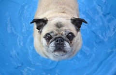Young At Heart! (DaPuglet) Tags: pug pugs dog dogs pet pets animal animals pool wadingpool water swimming swim summer heat humid weather ottawa heatwave coolingoff cool cute funny coth alittlebeauty coth5 clydesfriends