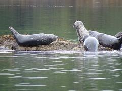 DSC02461 (jrucker94) Tags: ketchikan alaska coastalwildlifesearch excursion cruise port nature seal seals