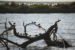 Late afternoon in Tagus south bank  #tagus #tejo #nature #portugal #t3mujinpack (t3mujin) Tags: arenariainterpres places roladomar turnstone animal location ribatejo yellow color river water alcochete beach samouco tagus bird portugal tejo europe nature ruddyturnstone