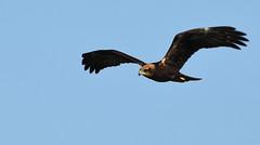 Marsh Harrier_1587 (marsh and moor) Tags: nikon d850 nature wildlife bird raptor marshharrier stodmarsh nnr
