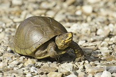 Box Turtle (Steve Creek) Tags: turtles boxturtle oklahoma sequoyahnationalwildliferefuge