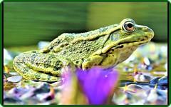 The frog (Ioan BACIVAROV Photography) Tags: frog animal broasca water green macro grenouille flower plant natura nature bacivarov ioanbacivarov bacivarovphotostream interesting beautiful wonderful wonderfulphoto nikon
