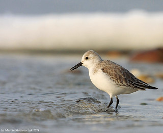Winter sanderling