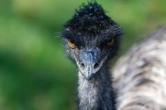 DSC_6678_DxO (Petr Marsal) Tags: beak outdoors africa animalhead emu closeup animaleye feather wildlife ostrich animal bird